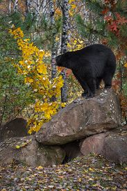 Black Bear (ursus Americanus) Stands Atop Rock Looking Left Autumn - Captive Animal