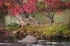 Coyote (canis Latrans) Runs Right On Island In Rain Autumn - Captive Animal