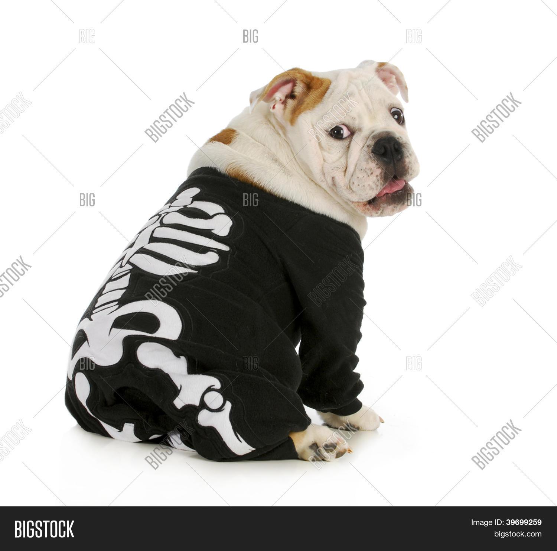 Dog Skeleton - English Bulldog Image & Photo   Bigstock