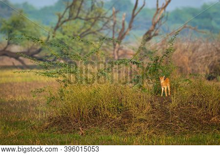 Spotted Deer Or Chital Or Cheetal Or Axis Axis Fawn Alone In Golden Hour Sunset Light Scenic Landsca