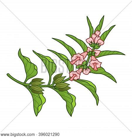Sesame Spice Vector Realistic Colored Botanical Illustration. Product To Prepare Delicious And Healt