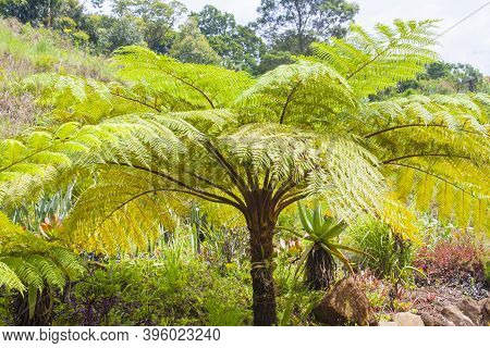 Sunlight Reflecting Off The Leaves Of A Giant Tree Fern