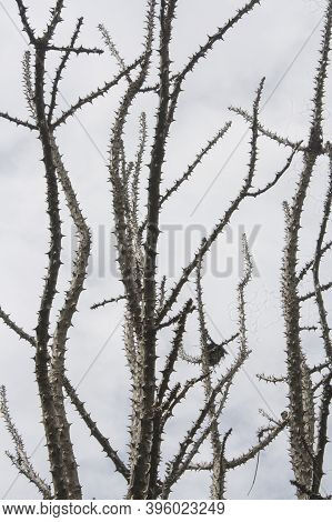 Leafless Thorn Tree Against Cloudy Grey Sky