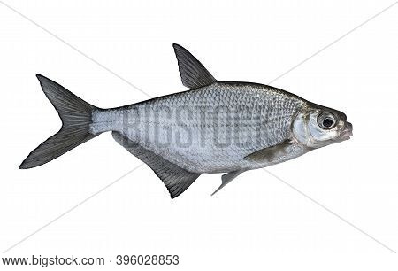 Fresh Alive White-eye Bream Fish Isolated On White Background. Ballerus Sapa
