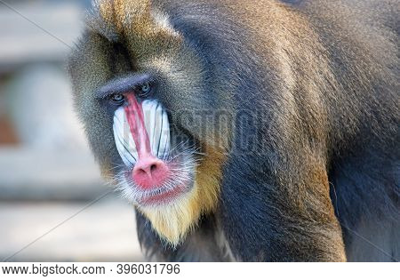 Colorful Mandrill Baboon, Selective Focus On Eyes
