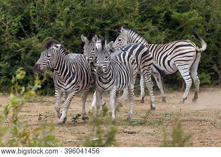 The Plains Zebra (equus Quagga, Formerly Equus Burchellii), Also Known As The Common Zebra, Herd Of