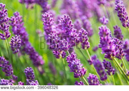 Lavender Bushes Closeup On Sunset.. Field Of Lavender, Lavender Officinalis. Flower Field, Image For