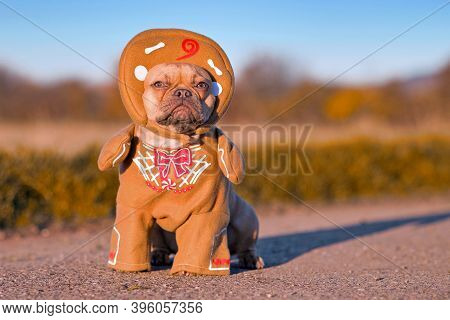 Red Fawn French Bulldog Dog Dressed Up With Funny Christmas Gingerbread Full Body Costume With Arms