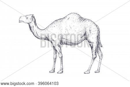 Camel, Dromedary. Vintage Retro Print, Black White Camel Drawing, Engrave Old School Style. Sketch A