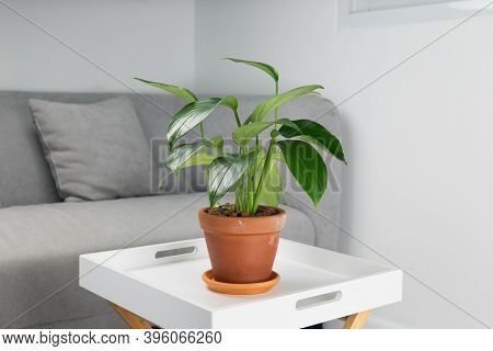 Philodendron Dragon Tail In Clay Pots Orange In The Living Room