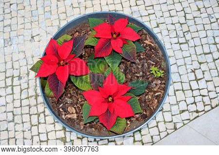 Potted Poinsettia Or Christmas Star On The Streets Of Portugal. Poinsettia - Red Christmas Flower