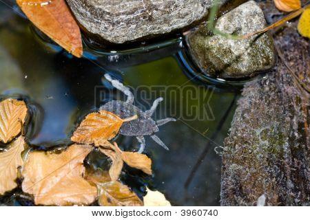 Giant Water Bug, Family Belostomatidae