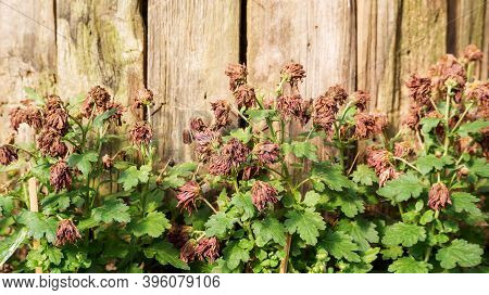Sear Chrysanthemum Flower On A Wooden Background.