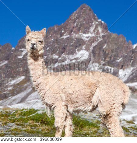 Llama Or Lama On Pastureland, Andes Mountains, Peru