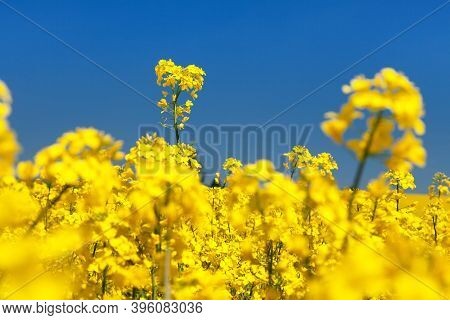 Detail Of Flowering Rapeseed Canola Or Colza Field In Latin Brassica Napus, Plant For Green Energy A
