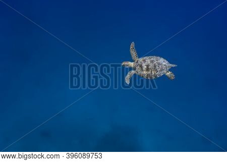Green Turtle (chelonia Mydas) Swimming In The Blue