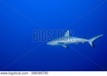 Grey Shark (carcharhinus Amblyrhynchos) Alone In The Blue