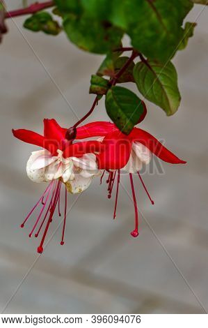 Beautiful Fuchsia Flowers In Full Bloom. Red And White Colors Of Flower Buds.