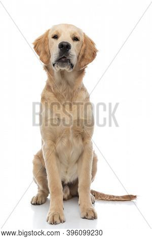 cute golden retriever dog just sitting and looking at the camera against white background