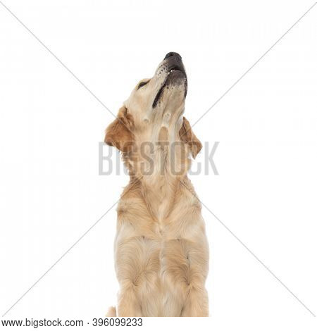 young golden retriever dog checking out what is above him, being curious of it is up there