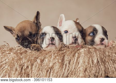 row of four precious french bulldog puppies resting and posing in a furry wooden box