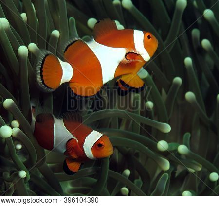 A Pair Of False Clown Anemonefish On Anemone Boracay Philippines