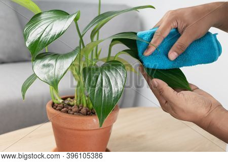Man Hand Wipe The Dust From The Leaves Of The Philodendron Dragon Tail In Clay Pots Orange In The Li