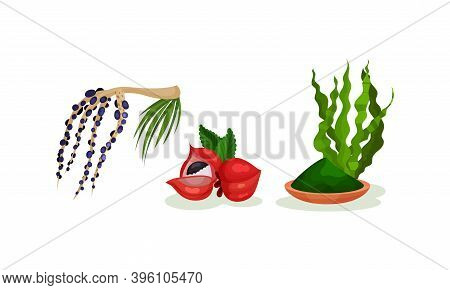 Guarana And Acai Berry Branch As Superfood Vector Set