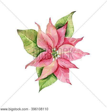 Red Poinsettia Bethlehem Star Christmas Flower Poinsettia Watercolor.
