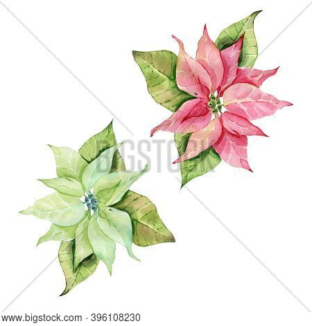 Red And Green Poinsettia Star Of Bethlehem Christmas Poinsettia Flower Watercolor.