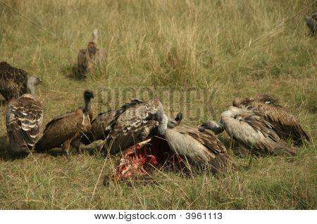 RüPpell'S Griffon Vultures