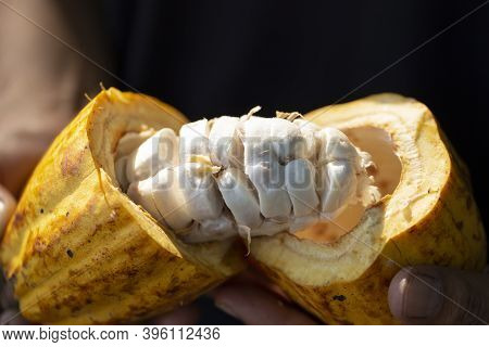 Man Holding A Ripe Cocoa Fruit With Beans Inside, Cocoa Beans And Cocoa Fruits, Fresh Cocoa Pod Cut