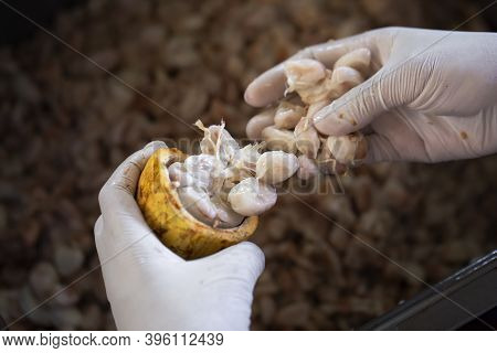 Cocoa Beans And Cocoa Fruits, Fresh Cocoa Pod Cut Exposing Cocoa Seed