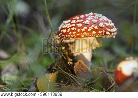 Toadstool, Close Up Of A Poisonous Mushroom In The Forest.