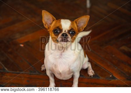 Cute Chihuahua Dog.the Chihuahua Is The Smallest Breed Of Dog, And Is Named After The Mexican State