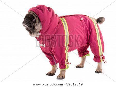 A Clothed Pug