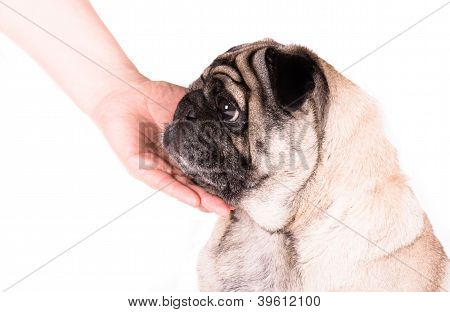 A Pug With A Hand