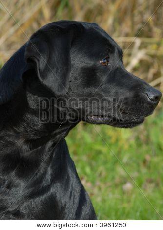 Black Labrador Retriever Head Shot Looking Sideways