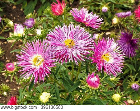 Closeup Of Pretty Chinese Aster Needle Pink Flowers, Callistephus Chinensis, In A Garden