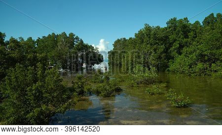 Tropical Mangrove Green Tree Forest. Mangrove Landscape, Ecosystem And Healthy Environment Concept.