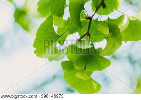 Ginkgo Biloba Green Leaves On The Tree. Ginkgo Biloba Tree Leaves With Sunbeams. Healing. Herbal Med
