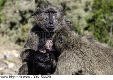 Chacma Baboon (papio Ursinus) Family With A Baby
