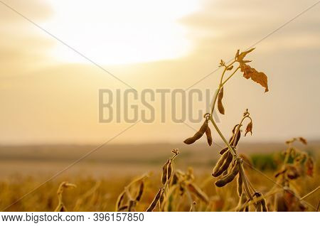 Field Of Ripe Soy With Evening Sky On Background