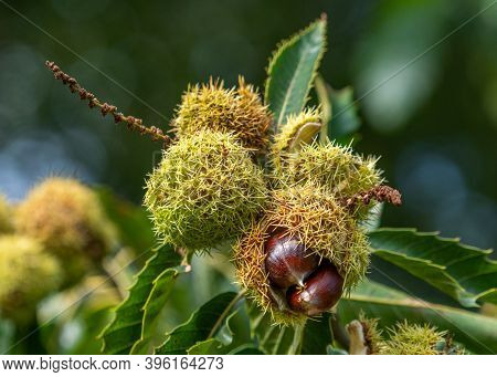A Bunch Of Edible Sweet Chestnut's (castanea Sativa) Of The Fagaceae Family Pictured In Autumn As Th