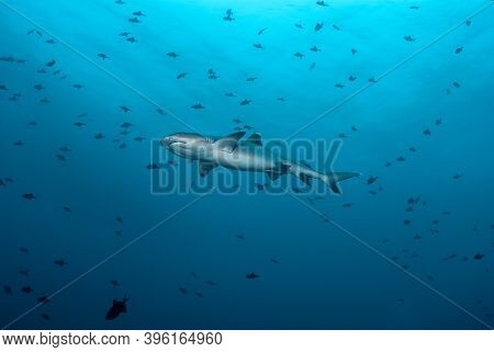 White Tip Shark (triaenodon Obesus) Swimming In A Big School Of Trigger Fishes