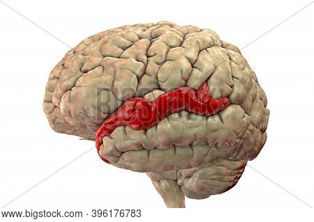 Human Brain With Highlighted Superior Temporal Gyrus, 3d Illustration. It Is Located In The Temporal
