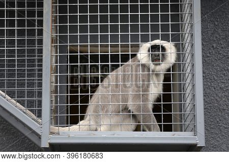 Gray Langur Monkey Is Seen In Captivity In A Zoo Cage.