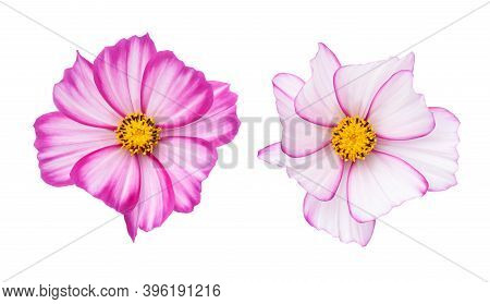 Cosmos Flowers (cosmos Bipinnatus) Isolated On White Background. Top View