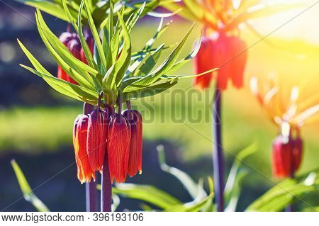 Fritillaria Imperialis (crown Imperial, Fritillary Or Kaiser Crown) Is A Species Of Flowering Plant