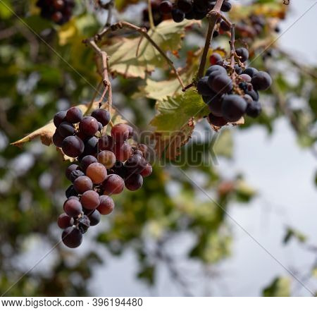 Rotten Grapes Infected With Botrytis On The Grape Vine